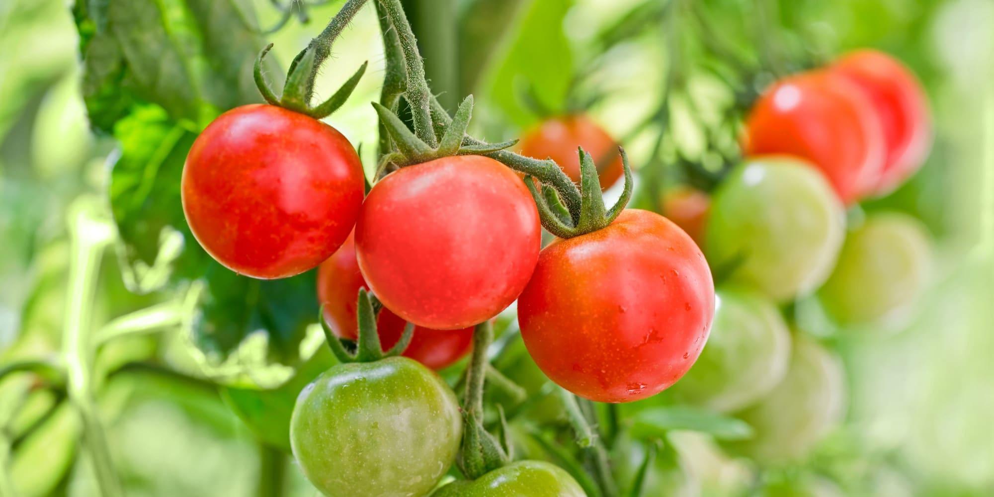 Photo of Meilleur engrais pour la tomate 2020 – comparatif, guide d'achat et avis